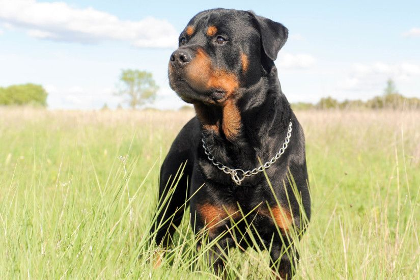 35 Rottweiler HD Wallpapers | Backgrounds - Wallpaper Abyss ...
