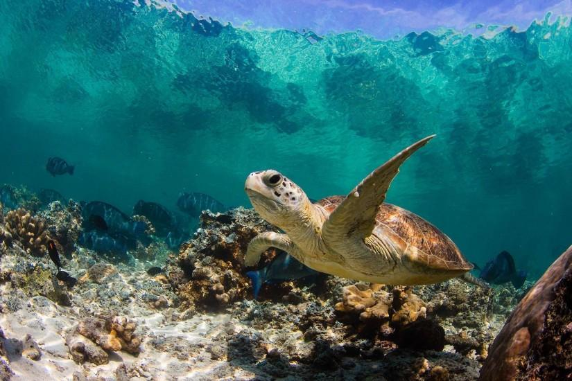 Sea Turtle Wallpapers - Full HD wallpaper search