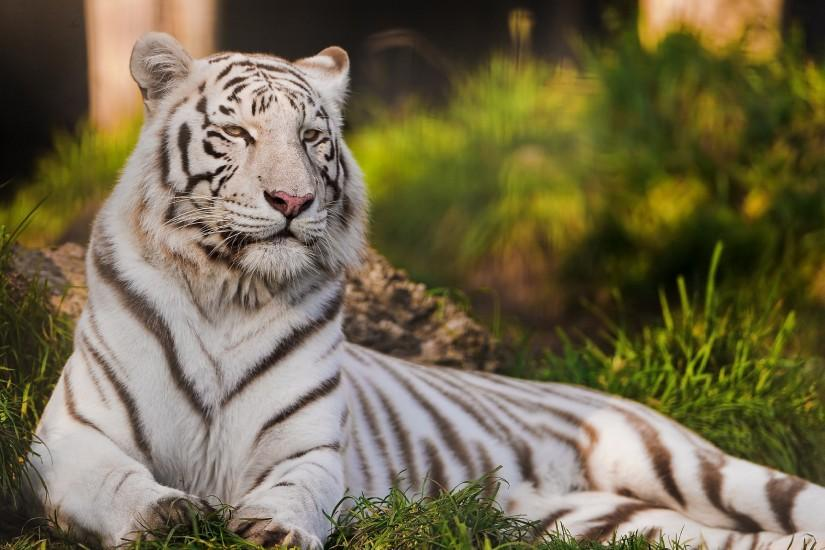 White Tiger Wallpapers Pictures Photos Images. Â«