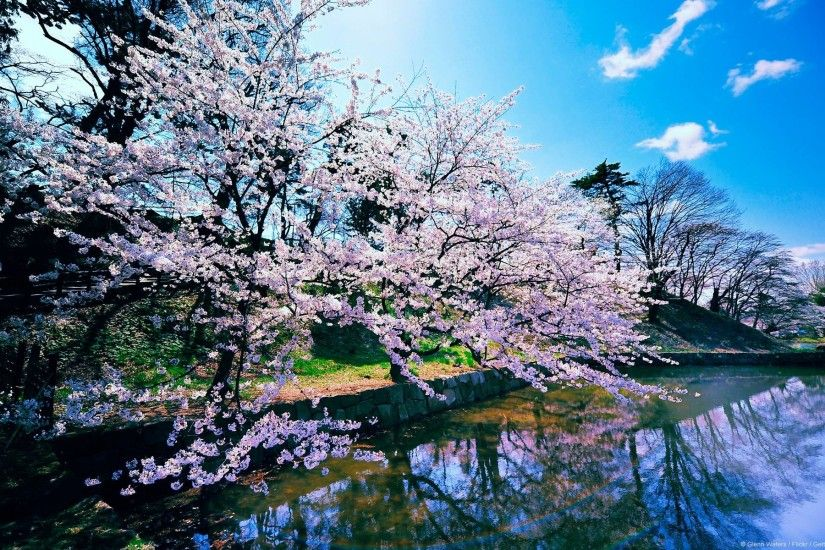 Cherry Blossom Tree Widescreen Desktop Wallpaper - HD Wallpapers .