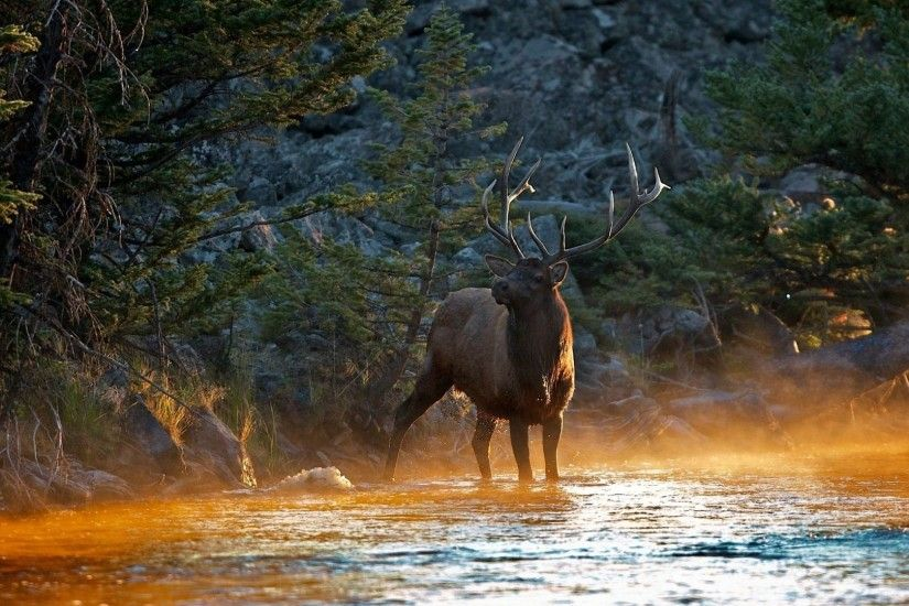 Elk in the river HD Wallpaper 1920x1080 Elk ...