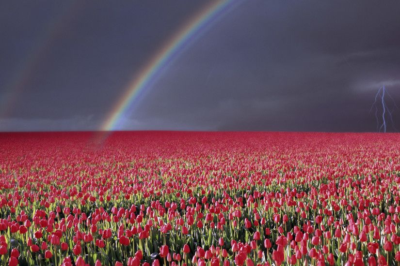 Rainbow and lightning over a tulip field wallpaper