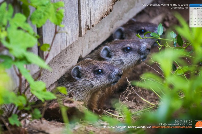 2014 07 July Wallpaper – Groundhog Kits waiting for me to Leave