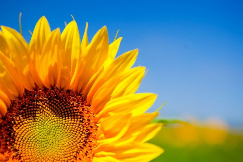 sunflower desktop wallpaper pictures free