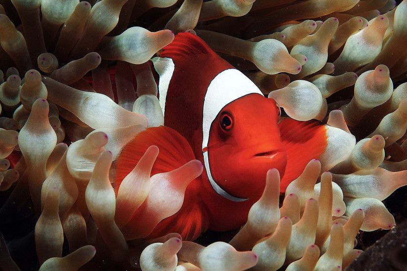 Savvy-Clownfish-Wallpapers-2560x1440