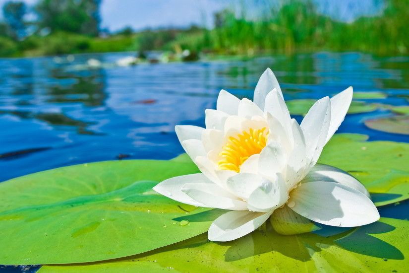 Water Lily Hd Wallpapers | Pictures