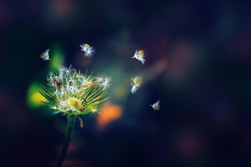 Best dandelion Wallpaper Android