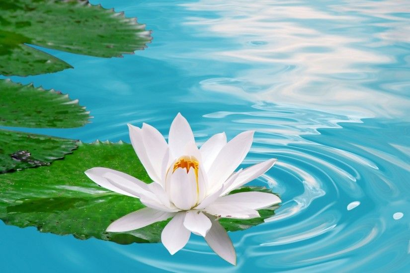 Lotus Flower Wallpapers Desktop