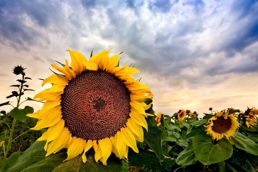 Field of sunflowers, wallpaper with nature