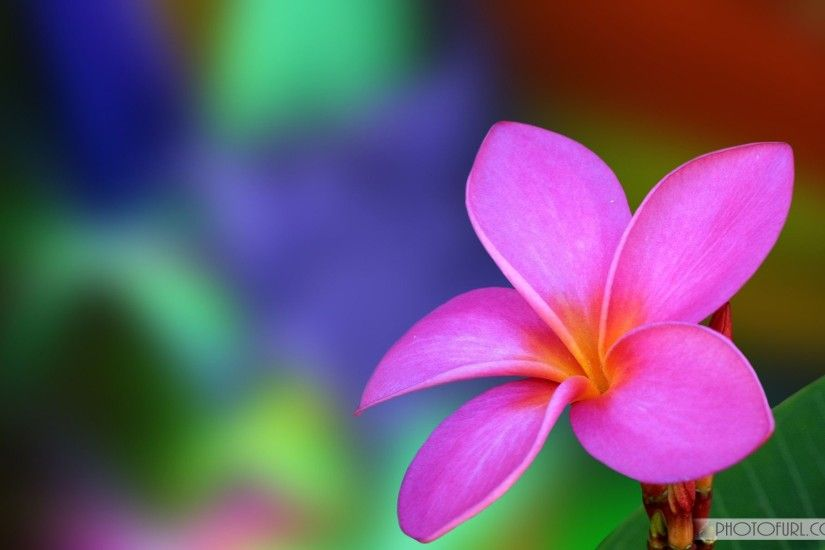 ... Wallpapers Browse Pink Flowers HD Images - Page 3 of 3 - wallpaper.wiki  ...