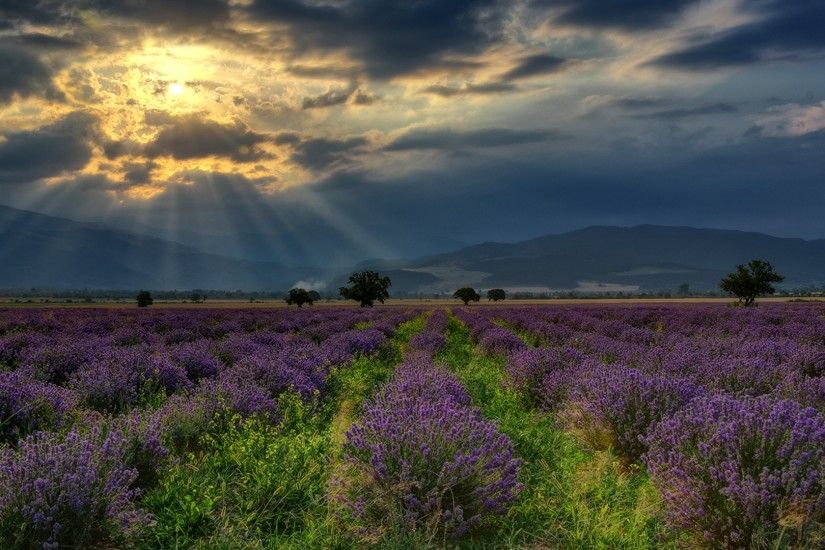 nature, Landscape, Hill, Bulgaria, Field, Lavender, Flowers, Trees, Clouds,  Sun Rays Wallpapers HD / Desktop and Mobile Backgrounds