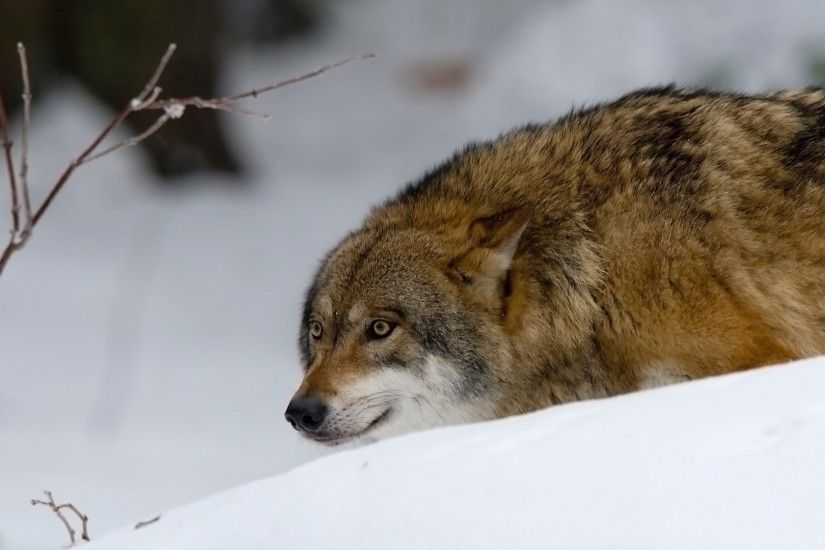 Preview wallpaper wolf, predator, hunting, snow 1920x1080