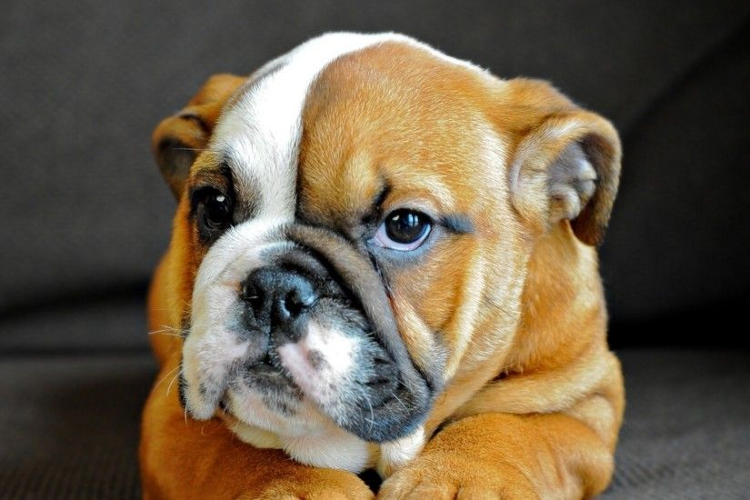 Preview wallpaper english bulldog, puppy, dog, muzzle, eyes 2048x2048