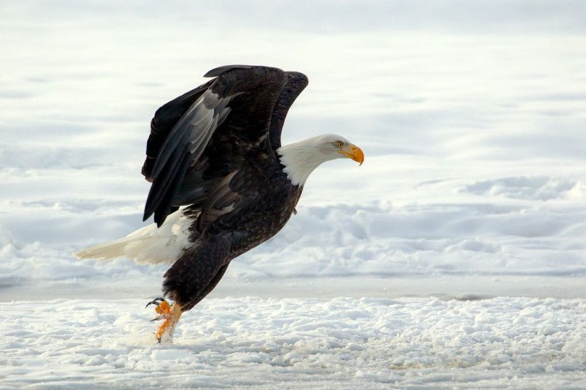 Free Download HD Eagle Wallpapers 1080p