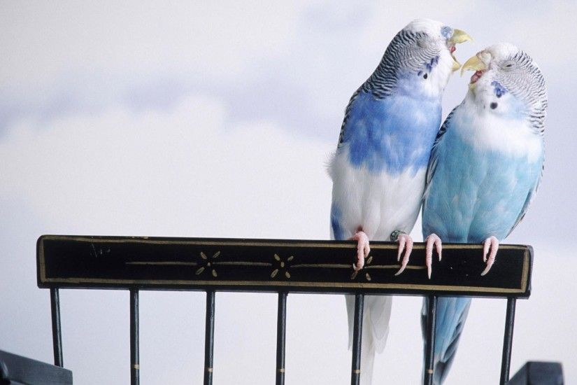 Love Birds Facebook Cover Wallpaper | Download Wallpapers