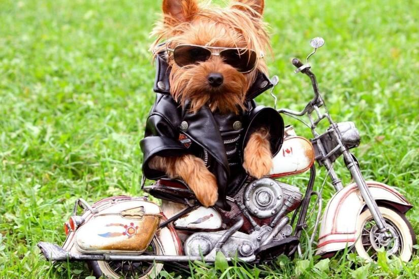 cute cool style stylish biker little dog backgrounds