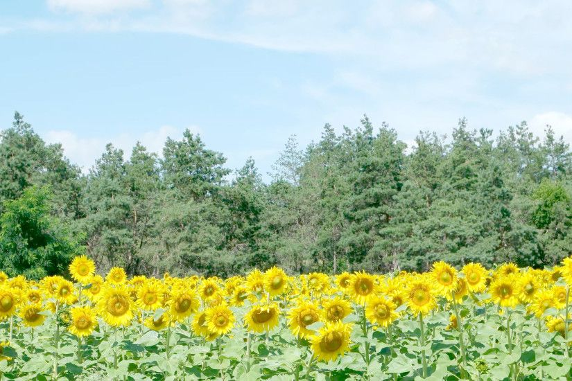Beautiful landscape sunflower field with soft focus clouds blue sky and green  forest background. Flowers yellow and green garden during the daytime with  ...