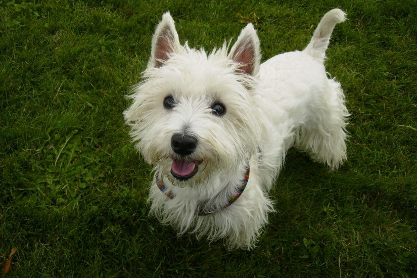 High Resolution Wallpaper | West Highland White Terrier 2560x1920 px