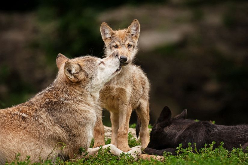 Wolves images Mother And Pups wallpaper and background photos .