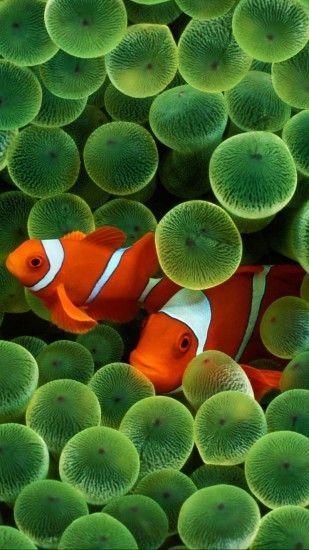 Animal Clownfish Fishes Clown Fish. Wallpaper 103492