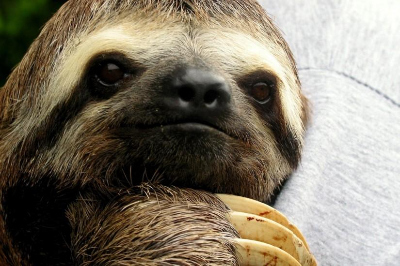 Sloth wallpapers and images - wallpapers, pictures, photos