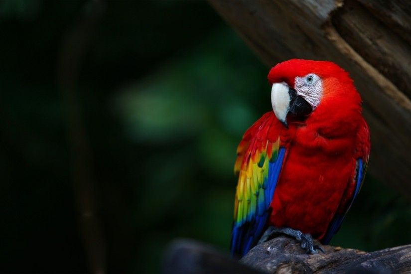 Download wallpaper: red parrot, download photo, wallpapers for desktop, red  parrot