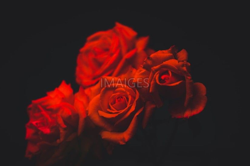 four red roses with black background