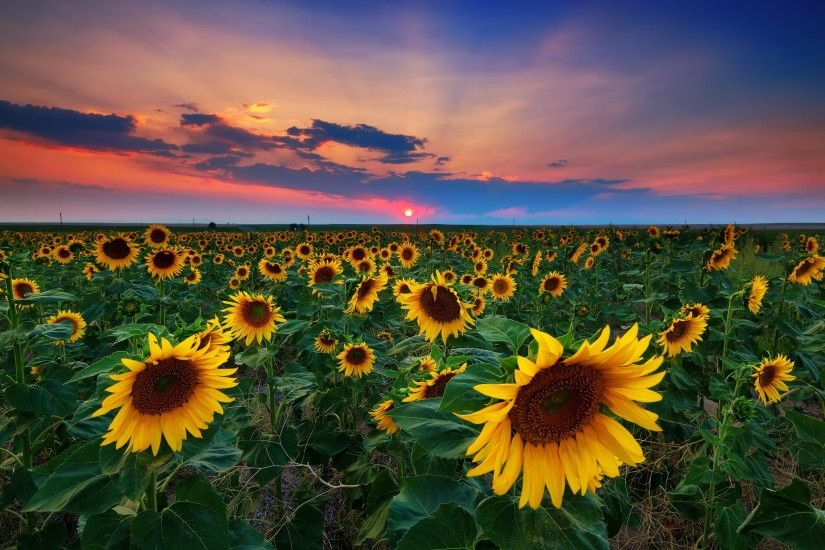 #1531600, sunflower category - Pictures for Desktop: sunflower image