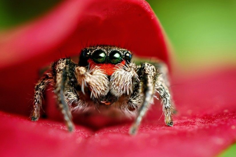 Jumping spider Wallpapers Jumping spider widescreen wallpapers