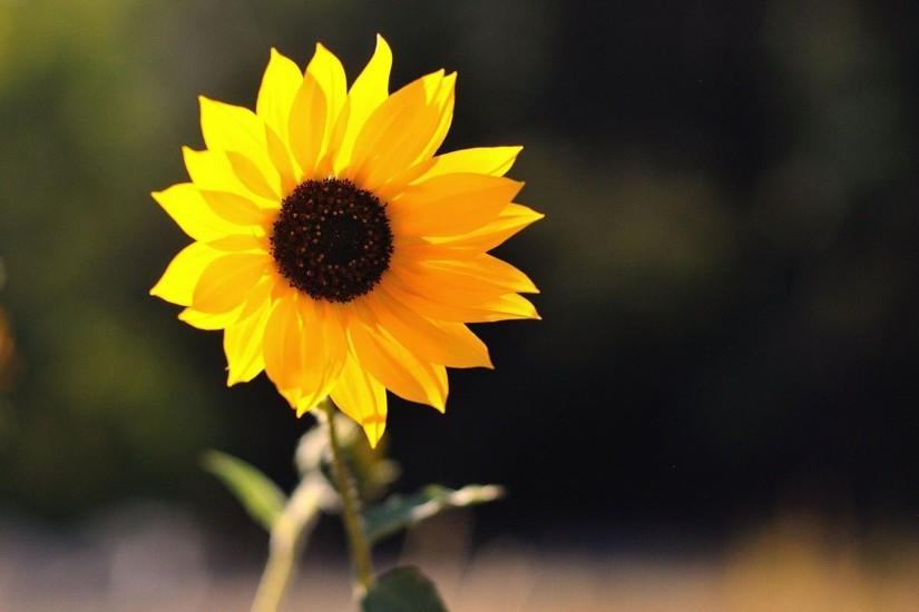 beautiful sunflower wallpaper 1920x1080