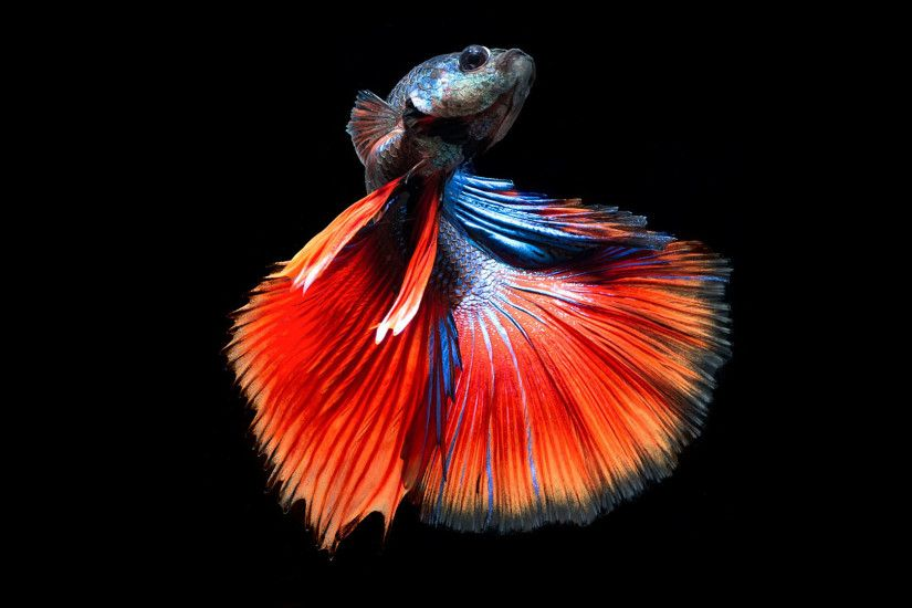 Siamese fighting fish Images Wallpapers.Siamese fighting fish  Pictures.S.iamese fighting fish Photos Free Download.Siamese fighting fish  Pics Gallery.