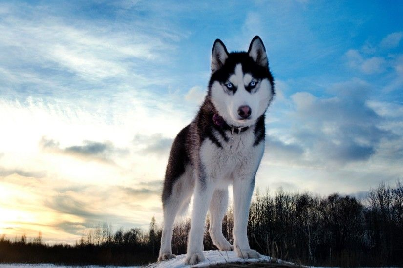CKI.994CKI Husky Wallpapers - IE.W