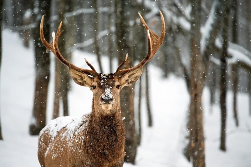 beautiful deer wallpaper 2560x1600