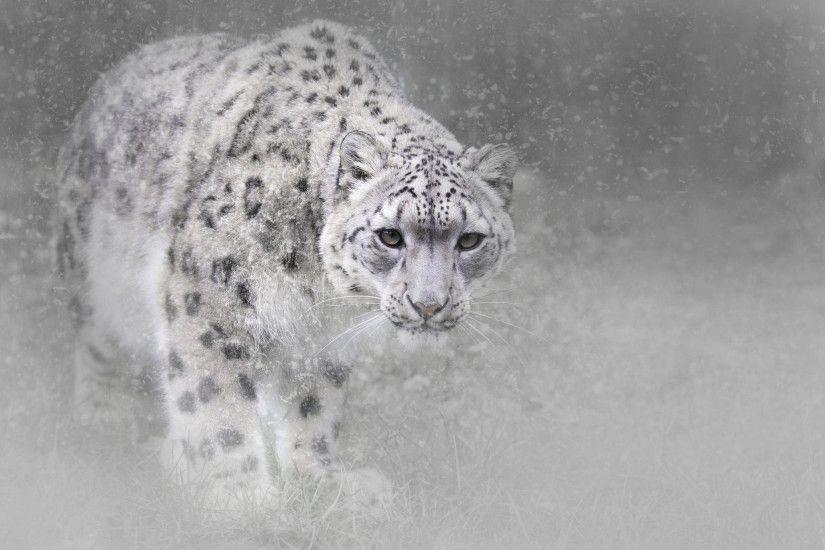 HD Wallpaper | Background ID:784070. 2048x1497 Animal Snow Leopard