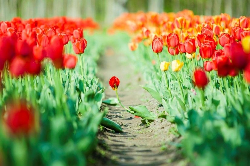 flower tulips red green leaves flowers background wallpaper widescreen full  screen widescreen hd wallpapers background wallpaper