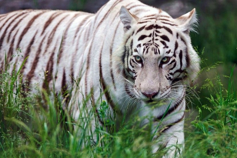 white, tiger, wallpaper, pics, images, photos, hd, for,