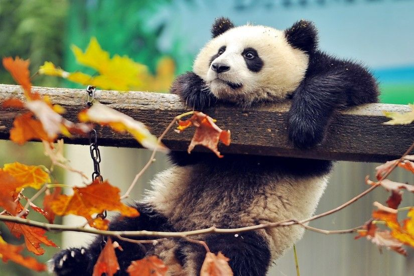 3840x2160 Wallpaper panda, bear, branch, tree