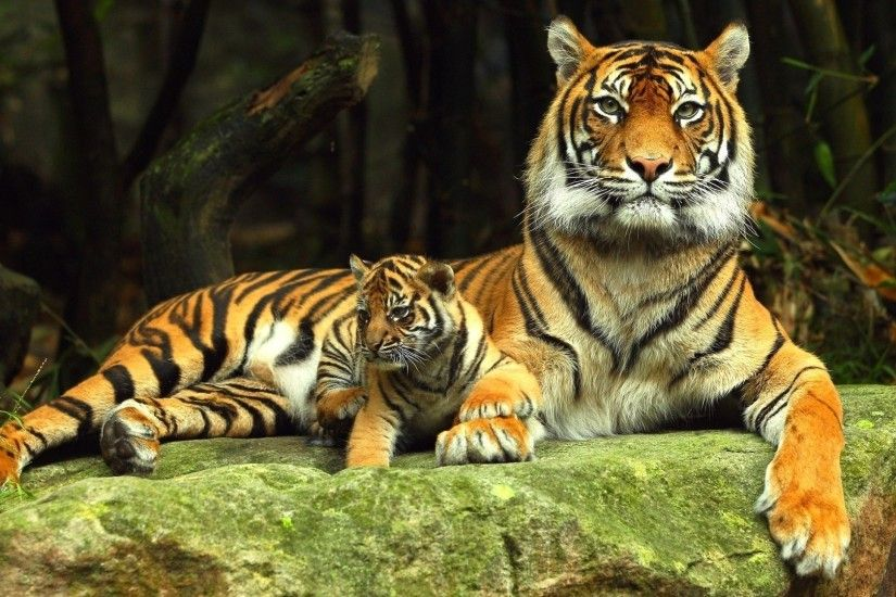 tiger hd wallpaper 0428