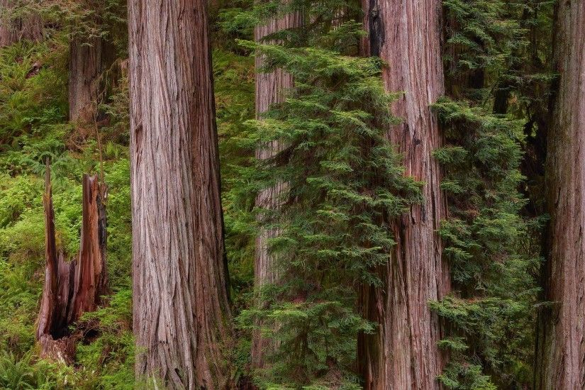 PreviousNext. Previous Image Next Image. redwood forest wallpaper ...