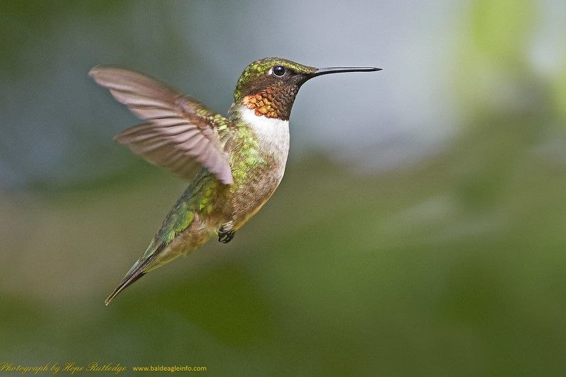 Hummingbird, photographed by Hope Rutledge