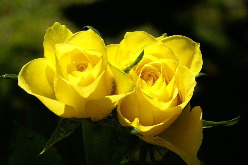 Desktop Yellow Rose Wallpapers Yellow Rose Nature Wallpapers ...