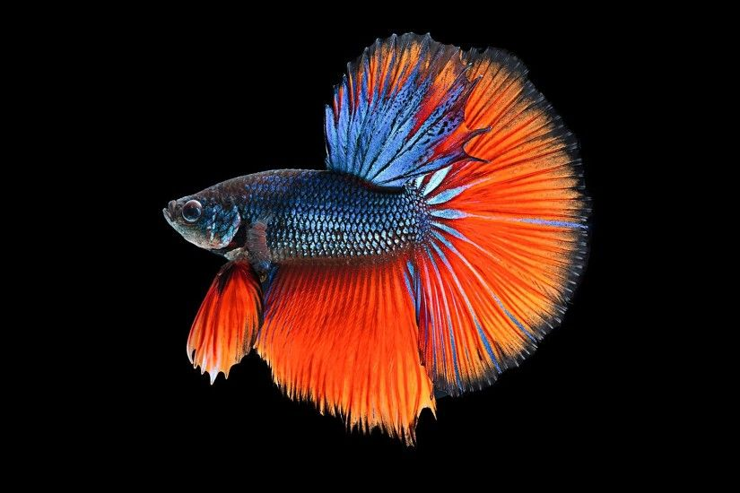 PC.8239, Betta fish, HD Photo Collection