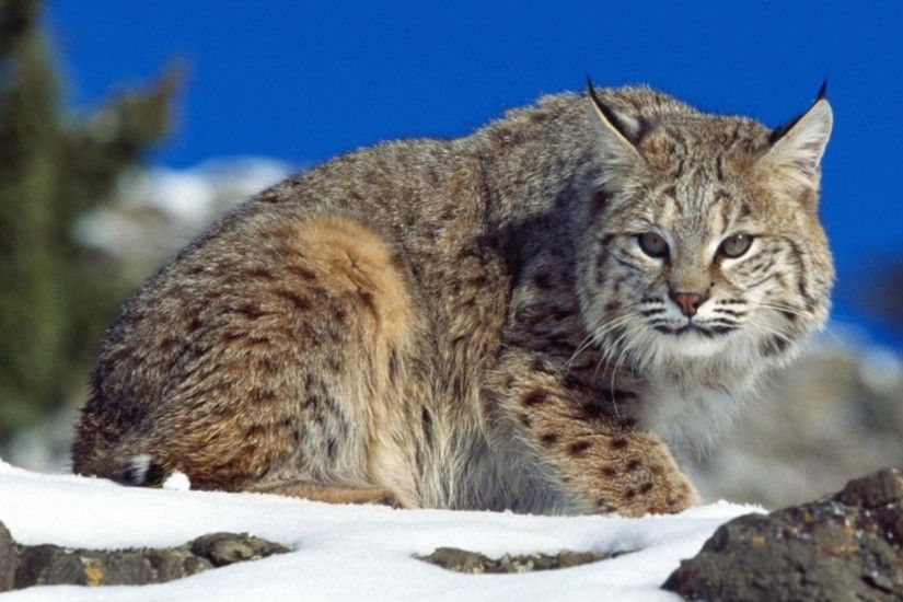 "... Lynx Wild Cat Wallpaper | Free Cat Downloads · "" ..."