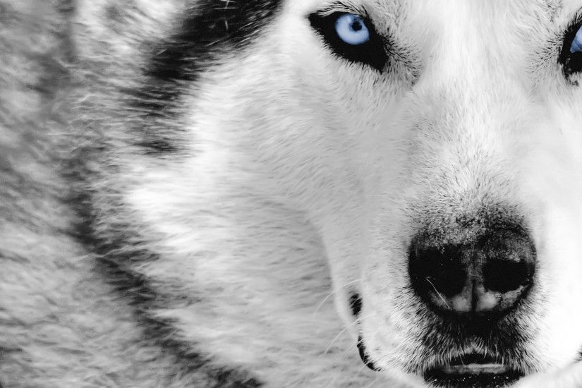 blue wolf wallpaper ...