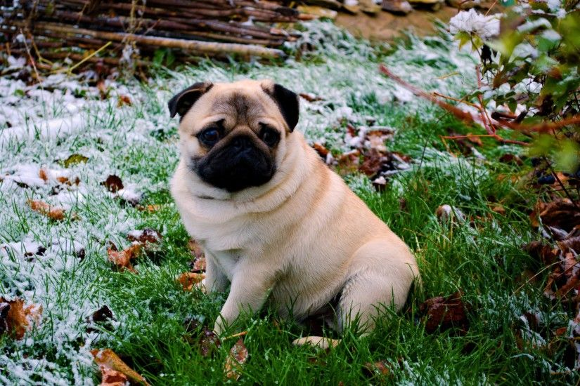 Dog breedPug Wallpapers HD