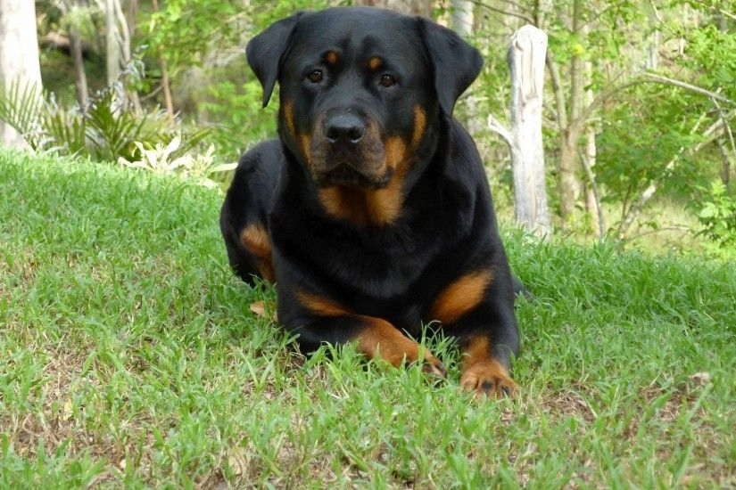 1920x1200 Rottweiler Wallpapers - The Dog Wallpaper - Best The Dog Wallpaper