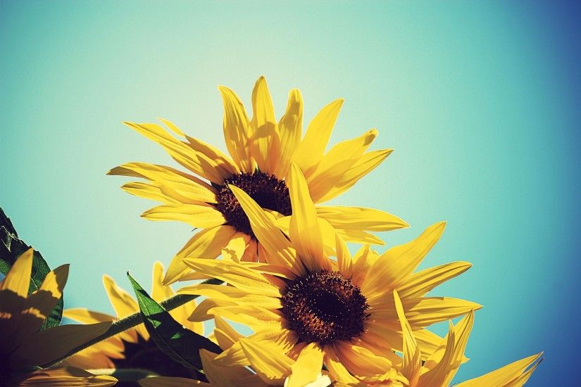 30 Brilliantly Colored <b>Sunflower Wallpaper</b> | Naldz Graphics