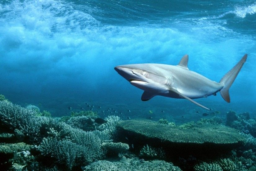 Hammerhead Shark Wallpaper Images #jIh | Animals | Pinterest | Hammerhead  shark, Shark and Animal