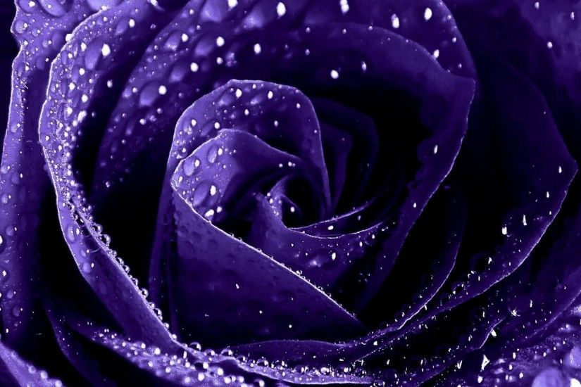 Purple Roses Wallpapers Wallpaper High Definition High 1920x1080