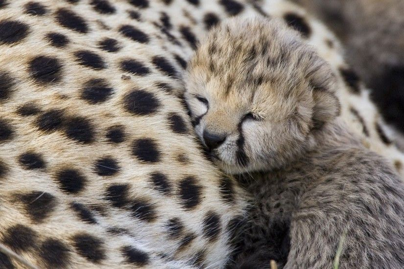 cute baby cheetah wallpaper. Â«Â«
